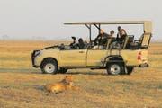 Aug in Aug mit wilden Löwen: Safari im Kafue-Nationalpark in Sambia. (Bild: Win Schumacher)