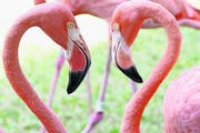 Die Flamingos auf den Bahamas sind dunkelrosa, so leuchtend farbig wie sonst nirgends. (Bild Ram Malls)