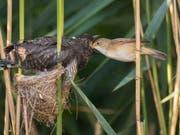 Ein junger Kuckuck wird von einem Teichrohrsänger gefüttert. (Bild: Vogelwarte)