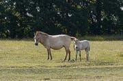 Przewalski-Pferde galten in den 1950er-Jahren praktisch als ausgestorben. (Bild: Karte oas)