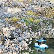 «Sakura»: Im April blüht die Stadt rosa. (Bild: Marco Kamber)