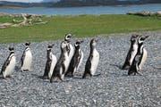 Auf der Isla Martillo lebt eine Pinguinkolonie. (Bild: Jürg J. Aregger)