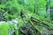 Bannwaldgebiet Wilder See, das teils schon seit hundert Jahren sich selbst überlassen ist. (Bild Nationalpark Schwarzwald)