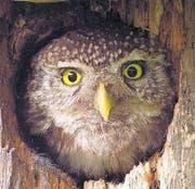 Der Sperlingskauz: die kleinste Eule Europas. (Bild: Schwarzwald Tourismus)