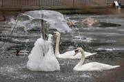 Die Kälte macht auch den Vögeln in der Voliere zu schaffen. (Bild: Hanspeter Schiess)
