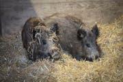 Zwei der drei neuen Wildschweine für den Wildpark Peter und Paul: Die beiden weiblichen Tiere wühlen sich durchs Stroh in ihrem frisch renovierten Stall. (Bild: Ralph Ribi)