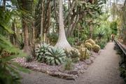 Die Kakteenabteilung im Tropenhaus des Botanischen Gartens St.Gallen. Bepflanzte Flächen und Wege werden neu durch Randabschlüsse voneinander getrennt. (Bild: Urs Bucher)