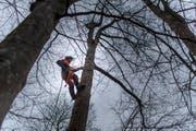"""""""Wir fällen keine Bäume aus reinem Vergnügen"""", sagen die St.Galler Förster. Hier einer bei der Arbeit oberhalb vom Kloster Notkersegg. (Bild: Michel Canonica)"""