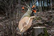 St. Galler Revierförster fällen einen Baum oberhalb des Klosters Notkersegg. (Bild: Michel Canonica)