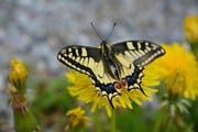 Der Schwalbenschwanz ist einer der farbenprächtigsten einheimischen Schmetterlinge. (Bild: Tagblatt-Archiv)