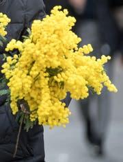Ein Strauss gelb leuchtende Mimosen. (Bild: Michel Canonica)