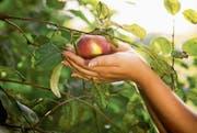 Wer Apfelkönigin werden will, muss nicht nur einen Bezug zum Kanton Thurgau haben, sondern auch zum Apfelanbau. (Bild: iStock)