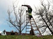 Ein Leiter des Schnittkurses führt die Baumpflege direkt vor Ort vor. (Bild: Urs Jaudas)