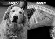 """Sujet aus der Kampagne """"Sauhund"""" der Schweizerischen Kynologischen Gesellschaft: Die Röntgenaufnahme mit Rasierklinge im Verdauungstrackt ist echt. (Bild: PD)"""