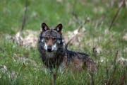Bei Kaltbrunn wurde vermutlich ein Wolf gesichtet. (Bild: KEYSTONE/Symbolbild)