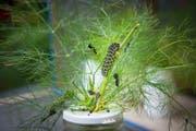 Die Abtwilerin Luzia Steiner züchtet in ihrem Garten in kleinen Käfigen auch Raupen des Schwalbenschwanzes. Dieser prächtige Schmetterling hat es in der Natur heute teilweise sehr schwer geeignete Nischen für den Nachwuchs zu finden. (Bild: Ralph Ribi - 13. Juli 2016)