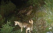 Am Calanda lebt ein Schweizer Wolfsrudel - das einzige auf der Alpennordseite. (Bild: (AMT FUER JAGD UND FISCHEREI GR))