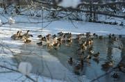 Enten im Winter am Moosweier in Bruggen. (Bild: Tagblatt-Archiv)