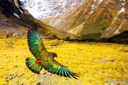 Am Sonntag ist im Museum auch ein Naturfilm über Neuseeland und seine Bergpapageien, die Keas, zu sehen. (Bild: PD)