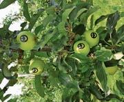 Bis zur Ernte bleiben die Kleber auf den Früchten. (Bild: PD)