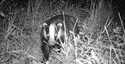 Wildtiere, die in der Stadt St. Gallen vorkommen und 2016 mit den Fotofallen der Aktion «Stadtwildtiere» nachgewiesen wurden: Rehe, Fuchs und Dachs. (Bilder: PD/Stadtwildtiere)