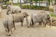Hier die Damen, dort der Bulle: Im Kinderzoo Rapperswil wartet man sehnlichst auf Nachwuchs bei den Elefanten. (Bild: Sabine Rock (ZSP))