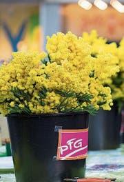 Die Politische Frauengruppe (PFG) verteilt am Frauentag traditionell Mimosen. (Bild: Michaela Rohrer)