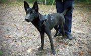 Der schwarze Schäferhund ist Mitte September an der Langgasse ausgesetzt worden. (Bild: Stadtpolizei St. Gallen)