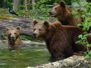 Die drei Jungbären aus dem Wildnispark Zürich leben sich im Tiergarten Straubing ein. (Bild: Tiergarten Straubing)