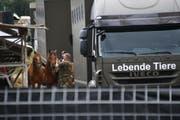 Einem Pferdezüchter aus Hefenhofen wird vorgeworfen, seine Tiere gequält zu haben. Fast 100 Pferde wurden beschlagnahmt. (Bild: Manuel Nagel)