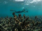 Dem Great Barrier Reef vor Australien machen wärmere Wassertemperaturen und eine damit verbundene Korallenbleiche zu schaffen. (Bild: KEYSTONE/AP The Ocean Agency / XL Catlin Seaview Survey)