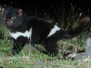 Ein gesunder Tasmanischer Teufel - Seine Artgenossen sind wegen einer weit verbreiteten Krankheit vom Aussterben bedroht. (Bild: KEYSTONE/AP DEPARTMENT OF PRIMARY INDUSTRIES/HO)