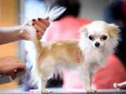 """In der Schweiz häufen sich laut """"SonntagsZeitung"""" die Meldungen über """"auffällige Hunde"""" nach Bissen und Aggressionen. Betroffen sind immer öfter auch kleine Rassen. (Symbolbild) (Bild: KEYSTONE/LAURENT GILLIERON)"""