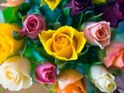 Forscher entschlüsselten das Erbgut einer Rose. Damit erhoffen sie sich Impulse für die Rosenzucht. (Bild: KEYSTONE/MARTIN RUETSCHI)