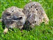 Zu engen Kontakt mit wildlebenden Hasen meiden. Sie können Menschen mit der Hasenpest anstecken. (Bild: KEYSTONE/EPA PAP/MARCIN BIELECKI)