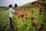 Eine Praktikantin auf einem Bauernhof im Napf. (Bild: Pius Amrein (Hergiswil, 18. Juli 2013))