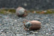 Tod auf dem Trottoir: zerdrückte Maikäfer säumen die Strassen. (Bild: Mario Testa)