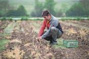 Bald bereit für den Verkauf: Landwirt Markus Gilli erntet derzeit grüne Spargeln. (Bild: Pius Amrein (Triengen, 3. Mai 2018))