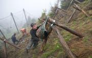 Freiwillige pflanzen in einem steilen Gebiet ob Giswil Bäume für den Lawinenschutz (Symbolbild). (Bild: Corinne Glanzmann (Giswil, 1. Juni 2016))
