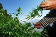 Eine regulierte Cannabisabgabe würde zu einer besseren Kontrolle der Produktionsstandards führen. (Bild: Keystone)