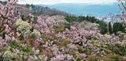 Ein Muss für jeden Sakura-Liebhaber: Kirschblüte am Hanamiyama. (Bild: Angela Köhler (Fukushima, April 2018))