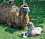Kamelstute Natascha mit ihrem vierten Nachwuchs, Hengst Yaris, der vor einer Woche zur Welt kam. (Bild: PD)