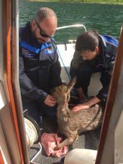 Mitglieder der Gewässerpolizei und Umwelt kümmern sich um das Reh. (Bild: Zuger Polizei (Oberägeri, 30. April 2018))