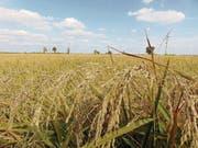 Im Herbst leuchten die Reisfelder ockergelb. (Bild: Sarah Coppola-Weber)