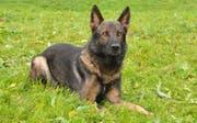 Polizeihund Quando. (Bild: Luzerner Polizei)