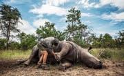 Ein Nashorn-Kadaver, getötet für sein Horn, wird für die Obduktion vorbereitet. (Bild: Salym Fayad/EPA (Kruger-Nationalpark, 4. Februar 2015))