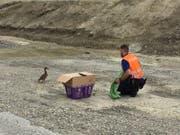 Die Polizei setzte die Entenküken in der Nähe des Rheins ab. (Bild: Kapo SG)
