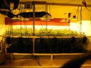 Die Indoor-Hanfanlage, welche die Polizei in Unteriberg sichergestellt hat. (Bild: Kapo Schwyz)