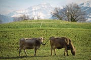 Kühe auf der Weide: Was ist eine nachhaltige Produktion wert? Und wer bezahlt dafür? (Bild: Gian Ehrenzeller/Keystone (Gretschins, 24. April 2017))