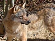 Wolf, Hund, Hybrid? Der Walliser Grossrat will sicher sein. Er hiess zwei Postulate gut, dass künftig mit Gen-Analysen Klarheit geschaffen werden soll. (Bild: KEYSTONE/CHRISTIAN BRUN)